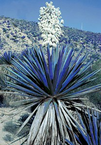 Photo from Sukumaran's 'Blue Yucca' warning design
